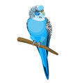 budgerigar common or shell parakeet informally vector image vector image