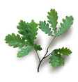 isolated oak branch with green leaves vector image