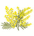 hand-drawn branch of mimosa isolated on white vector image