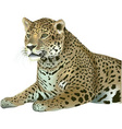 Laying Leopard vector image vector image
