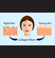 skin aging diagrams young skin is firm tight its vector image vector image