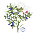 hand drawn bilberry bush vector image vector image