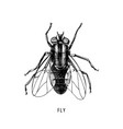 hand drawn fly on white background vector image vector image