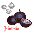 jabuticaba fruit of exotic brazilian tree sketch vector image vector image