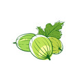 ripe gooseberry isolated icon vector image vector image