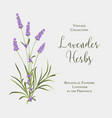 label with lavender bush bunch of summer flowers vector image