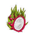 dragon fruit isolated sketch with pink pitaya vector image vector image