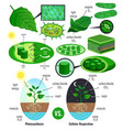 biological photosynthesis infographic elements vector image