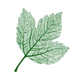 leaf isolated natural macro leaf vector image vector image