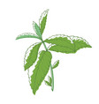 mint bush aromatic plant and culinary herb vector image vector image