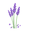 Purple Lavender Flowers on A White Background vector image vector image