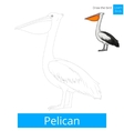 Pelican bird learn birds coloring book vector image vector image