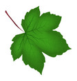 image of realistic green maple leaf isolated on vector image