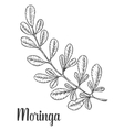 Moringa leaves vintage sketch engraved vector image vector image