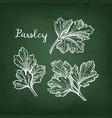 chalk sketch of parsley vector image vector image