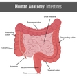 Human Intestines detailed anatomy Medical vector image vector image