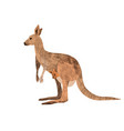 red kangaroo carrying a cute joey isolated on vector image vector image