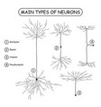 four main types of neurons isolated on white vector image