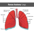 Human Lungs detailed anatomy Medical vector image vector image