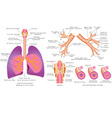 Respiratory system vector image vector image