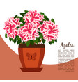 Azalea indoor plant in pot banner vector image