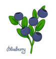 sprig of blueberry leaves and berries of vector image vector image
