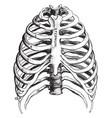 thorax vintage vector image