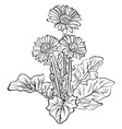 elegant decorative gerbera flowers vector image vector image