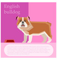 english bulldog postcard vector image
