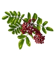 Ashberry Branch Composition with Berries and vector image
