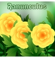 Beautiful spring flowers Ranunculus Cards or your vector image