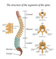 diagram of a human spine in front and side vector image
