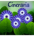 Beautiful spring flowers Cineraria Cards or your vector image vector image