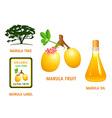 Marula fruit vector image vector image