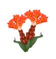 Scarlet Flame Bean or Brownea Ariza Flowers vector image vector image