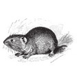 northern red backed vole vintage vector image vector image