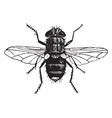 yellow tailed tachina fly vintage vector image vector image