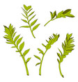 beautiful exotic zamioculcas simple green leaf vector image