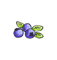 blueberry with leaves in vector image