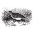 andelusian quail vintage vector image vector image