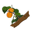 ripe apricot on a branch on a white background eps vector image