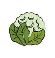cauliflower vegetable natural vector image