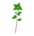 Fresh Thai Basil Plant on White Background vector image vector image