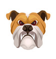 angry bulldog face colored in beige and white vector image vector image