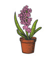 hyacinth flower color sketch engraving vector image vector image