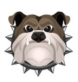 angry bulldog face in metal collar vector image