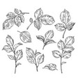 hand drawn set rose leaves vector image