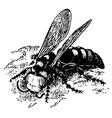 wasp scolia vector image vector image