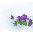 crocuses snow vector image