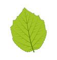 hazelnut leaf isolated on white vector image